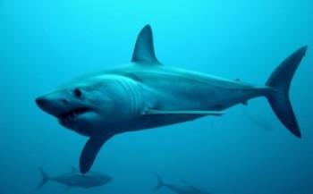 Kiki Vleeschouwers - Duiken met haaien