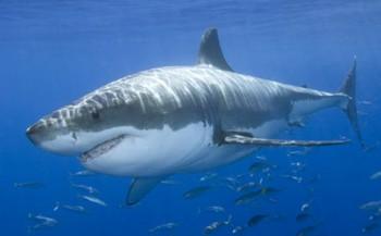 Witte haai pas laat geslachtsrijp