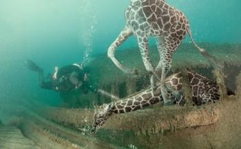 Giraffe in de Noordzee?
