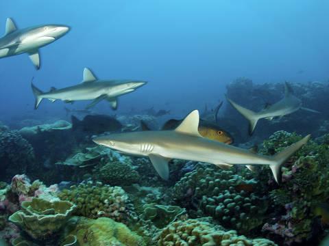 1grey-reef-sharks-Kiribati-Credits-WWF