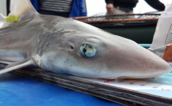 Sharkatag: haaien tellen langs Nederlandse kust