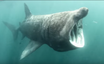In beeld: De reuzenhaaien van Schotland
