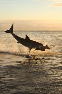 sprong-witte-haai