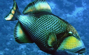 Aanval van triggerfish - vijf tips om er wél ongeschonden uit te komen