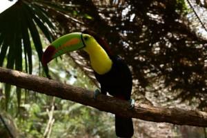 BelizeZoo-Keel-BilledToucan_2_