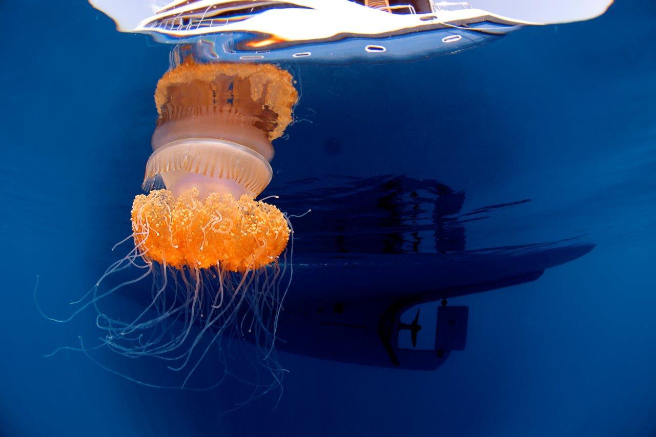 «Dit jaar stond ik versteld hoe je ook tijdens het snorkelen mooie foto's kan maken. Deze kwal werd gefotografeerd tijdens één van onze pauzes tussen 2 duiken in.»