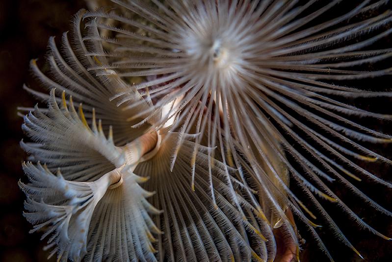 Kerstboomworm, Bonaire