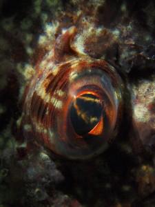 Het oog van een gewone zeedonderpad (Myoxocephalus scorpius) - Grevelingenmeer (Dreischor parking) - 5 februari 2014