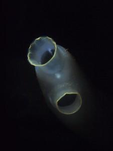 Doorschijnende zakpijp (Ciona intestinalis) - Grevelingenmeer (Dreischor parking) - 5 februari 2014