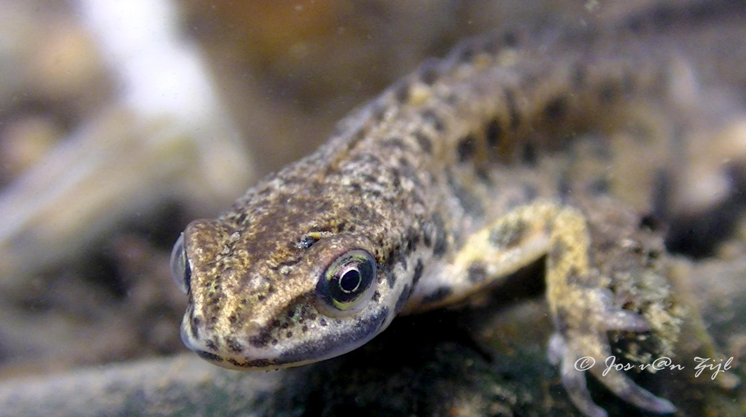 Jos van zijl salamander u duikeninbeeld