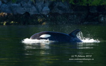 Jagende orka's...