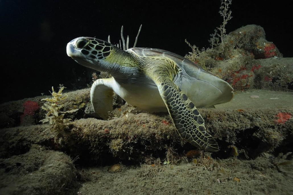 Statia_turtle_1