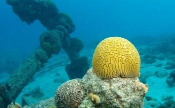 Organisaties slaan alarm over conditie van Caribisch koraal