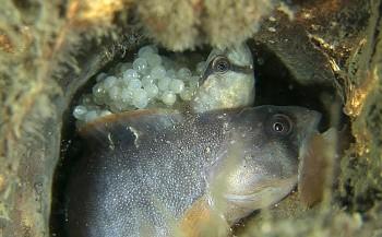 In beeld: de geboorte van een botervis