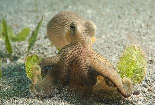 thalassa_octopus_manado