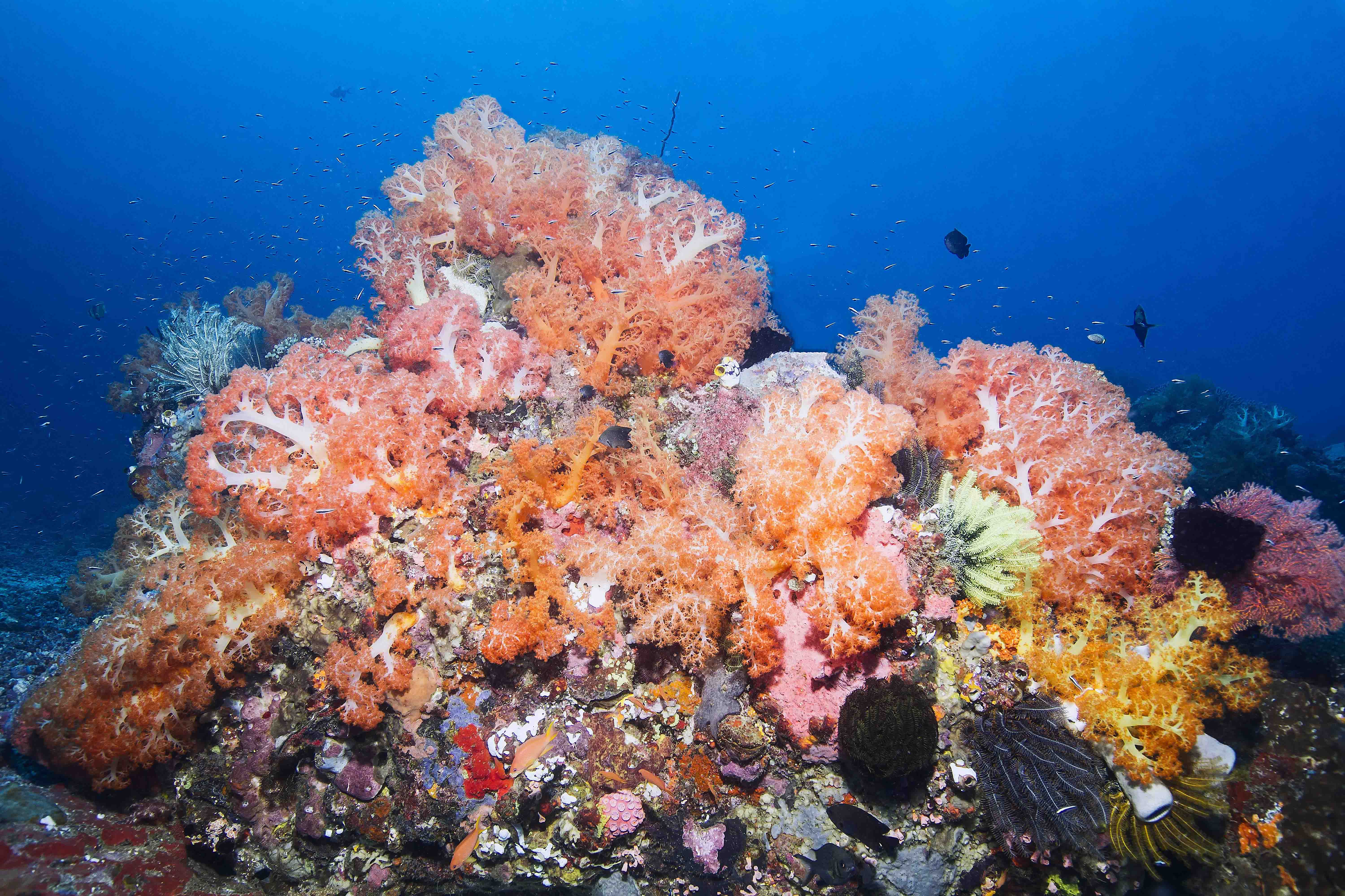 Indonesien, Indonesia, Nord Sulawesi , North Sulawesi, Molucca Sea, Molukken See, Tauchen, Diving,