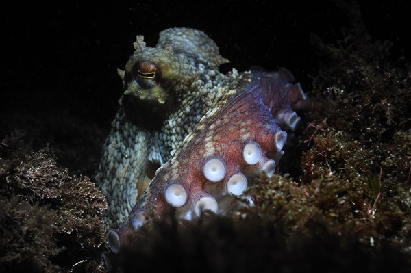 _DSC9533-Ron-Offermans-Terceira-Azoren-Octopus-800x532