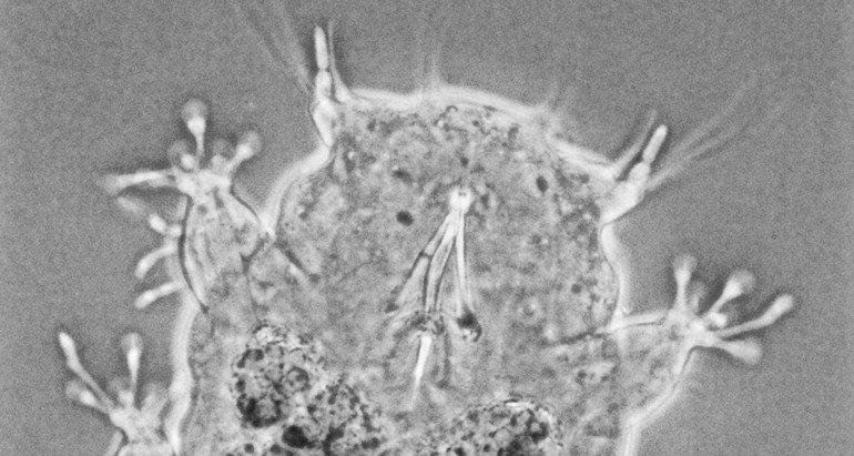 Detailopname van de kop van het beerdiertje. Hier is aan de onderzijde de stiletto-achtige buis te zien waarmee ze algencellen aanprikken om zich te voeden (Bron: Frans W. Roza)