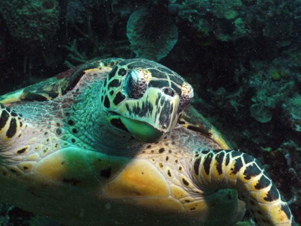 SealifeDC1000-schildpad