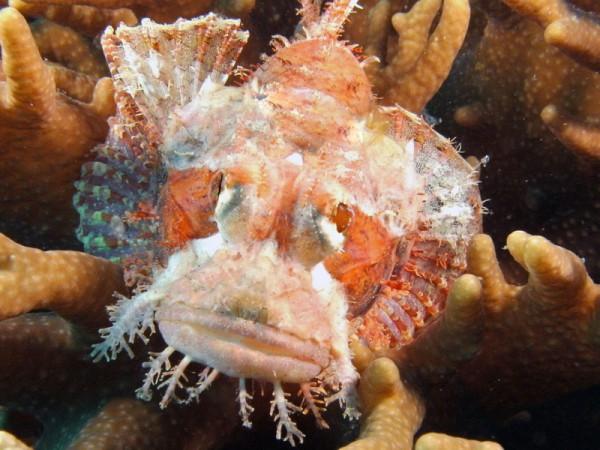 SealifeDC1000-schorpioenvis