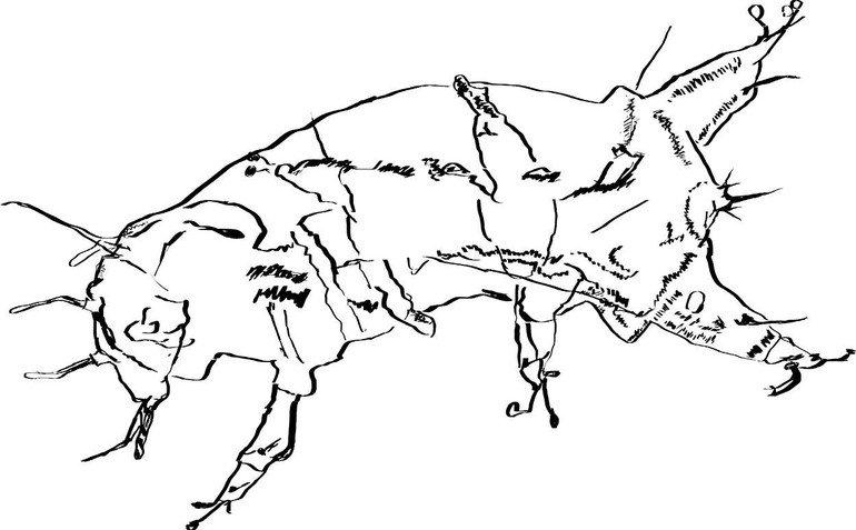 Tekening gemaakt met behulp van microscopiebeelden van een huidje van Batillipes phreaticus (Bron: Frank Roza)