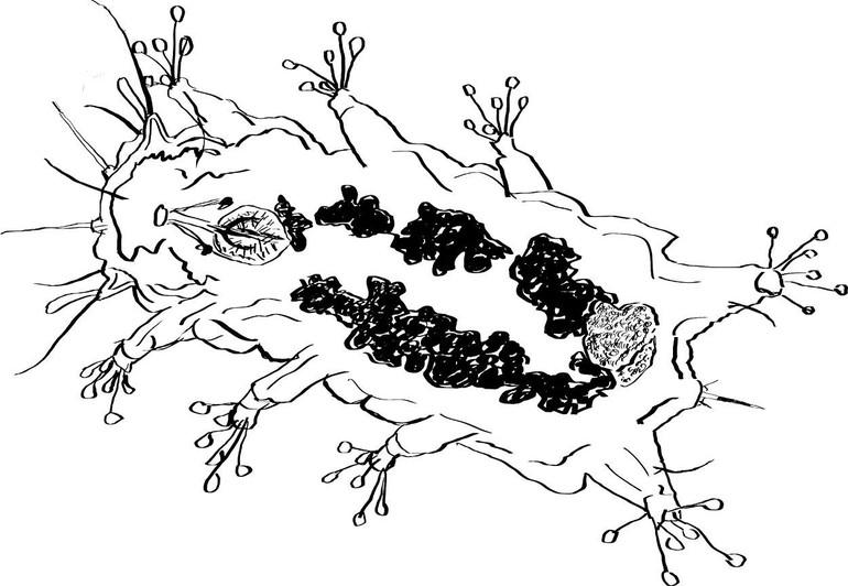 Tekening gemaakt met behulp van microscopiebeelden van een vrouwelijk exemplaar van het nieuwe Nederlandse Beerdiertje Batillipes phreaticus (Bron: Frank Roza)