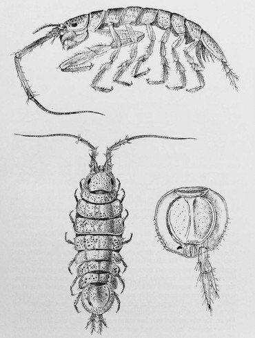 Ianiropsis breviremis. Deze soort lijkt sterk op I. serricaudis. Boven: Mannetje van opzij; linksonder vrouwtje van boven. (Bron: Holthuis 1956 (Fig. 37, naar Sars))
