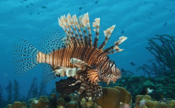 Lionfish: koraalduivels