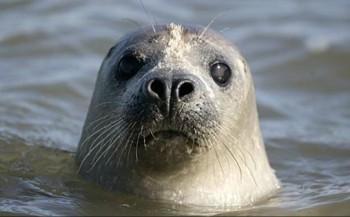Kannibalistische zeehond op film vastgelegd
