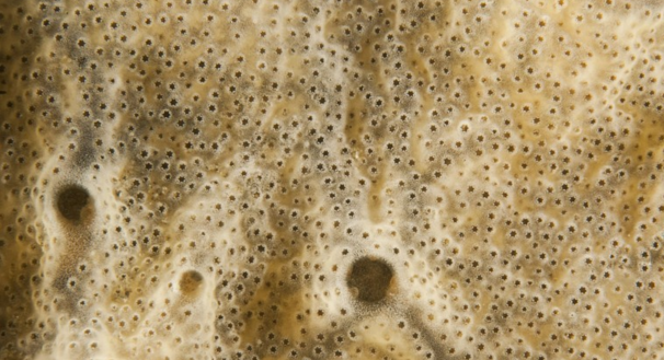 Detailopname van een druipzakpijpkolonie. Ze filteren zeewater om zich te voeden. De kleine gaatjes zijn de instroomopeningen van de individuele zakpijpen. De grote openingen zijn de gezamenlijke uitstroomopeningen
