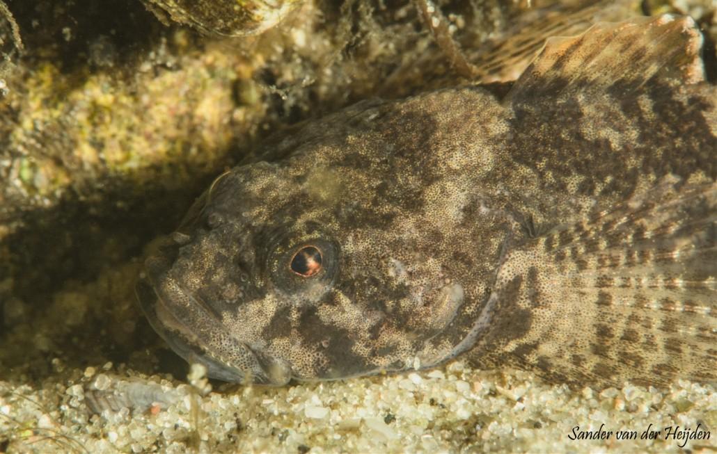 rivierdonderpad donker