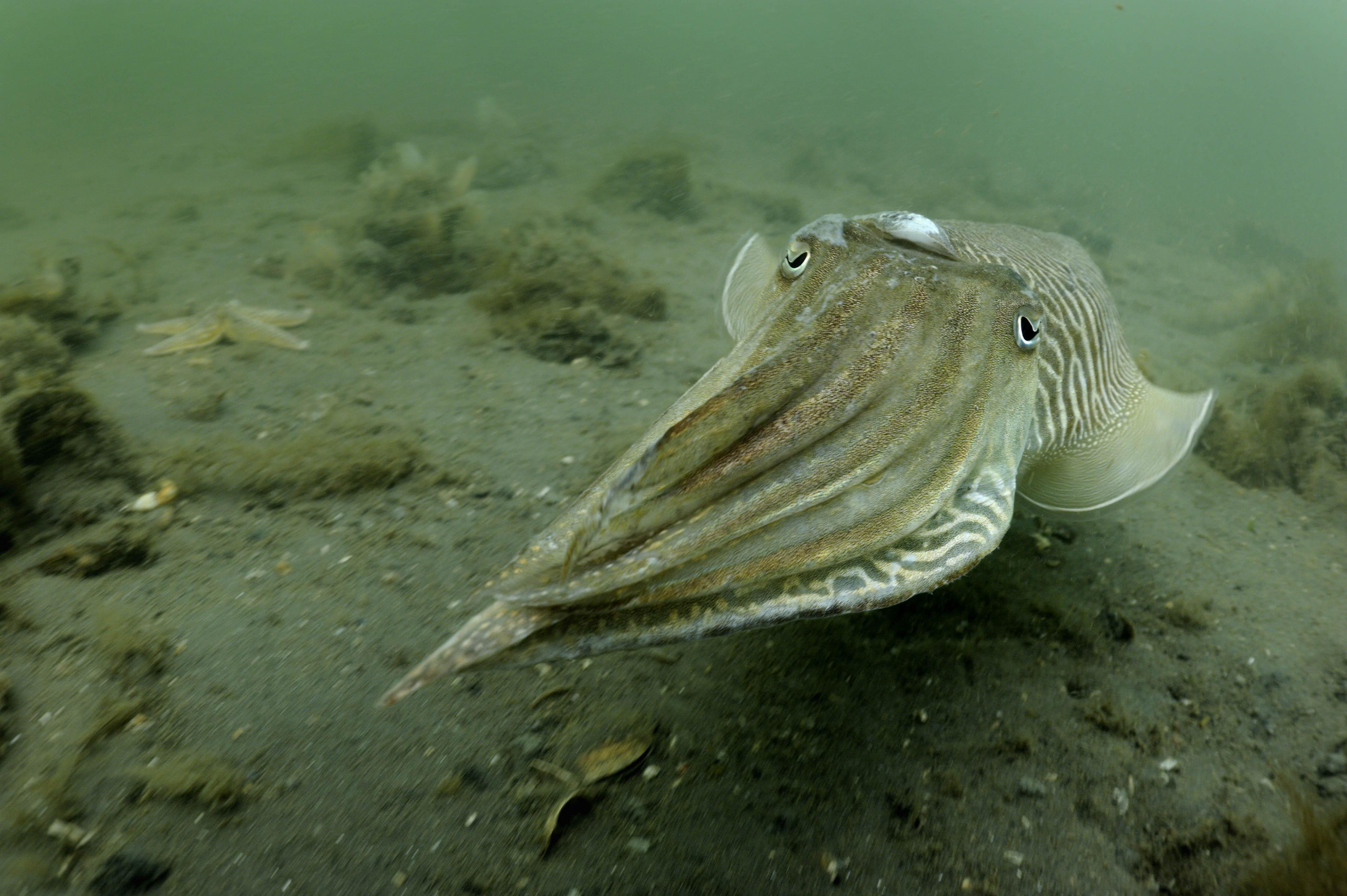 Sepia's zwemmen in het voorjaar de Oosterschelde in om zich voort te planten ; Common cuttlefish swimming up the Dutch Oosterschelde to breed.