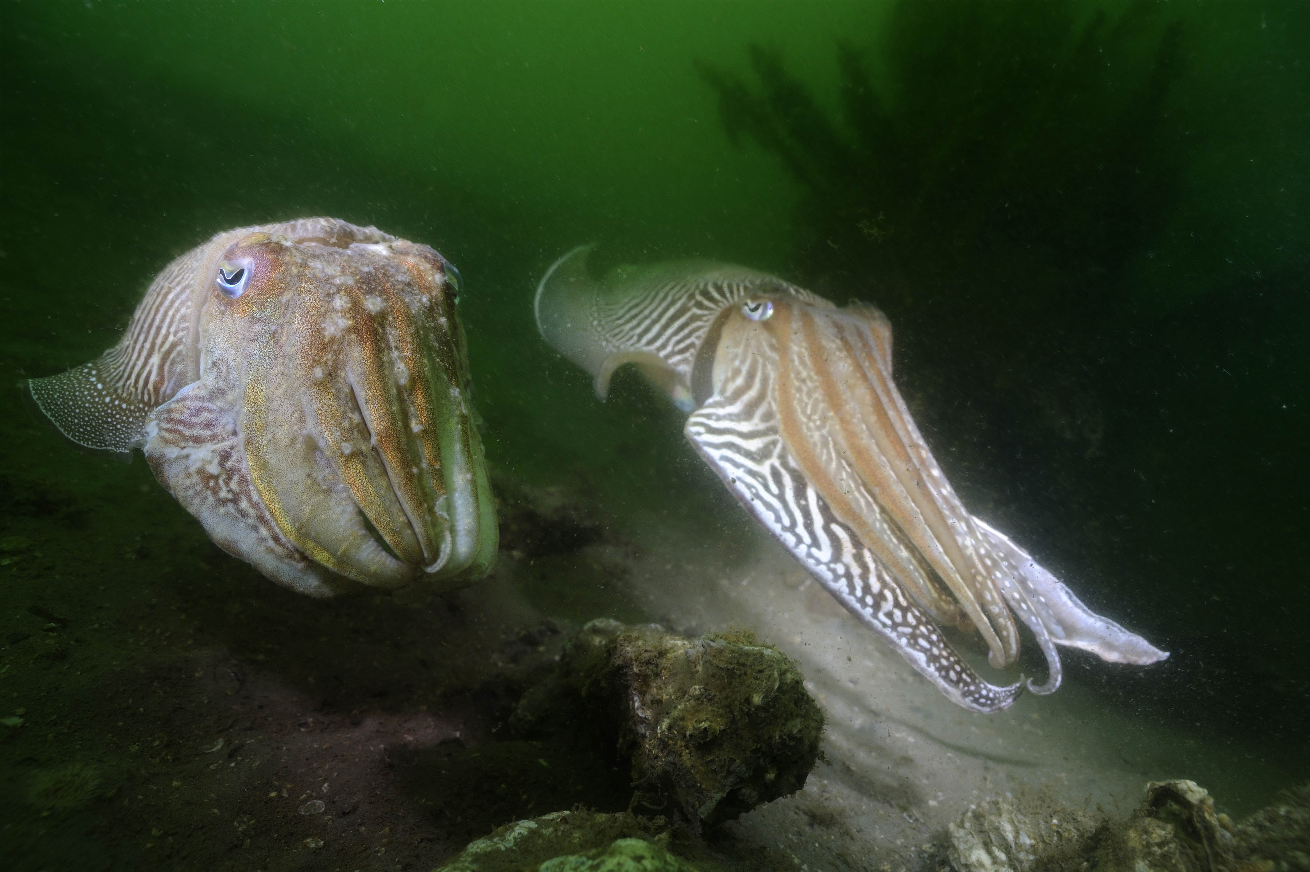Sepia's zwemmen in het voorjaar de Oosterschelde in om zich voort te planten ; Common cuttlefish swimming up the Dutch Oosterschelde to breed.