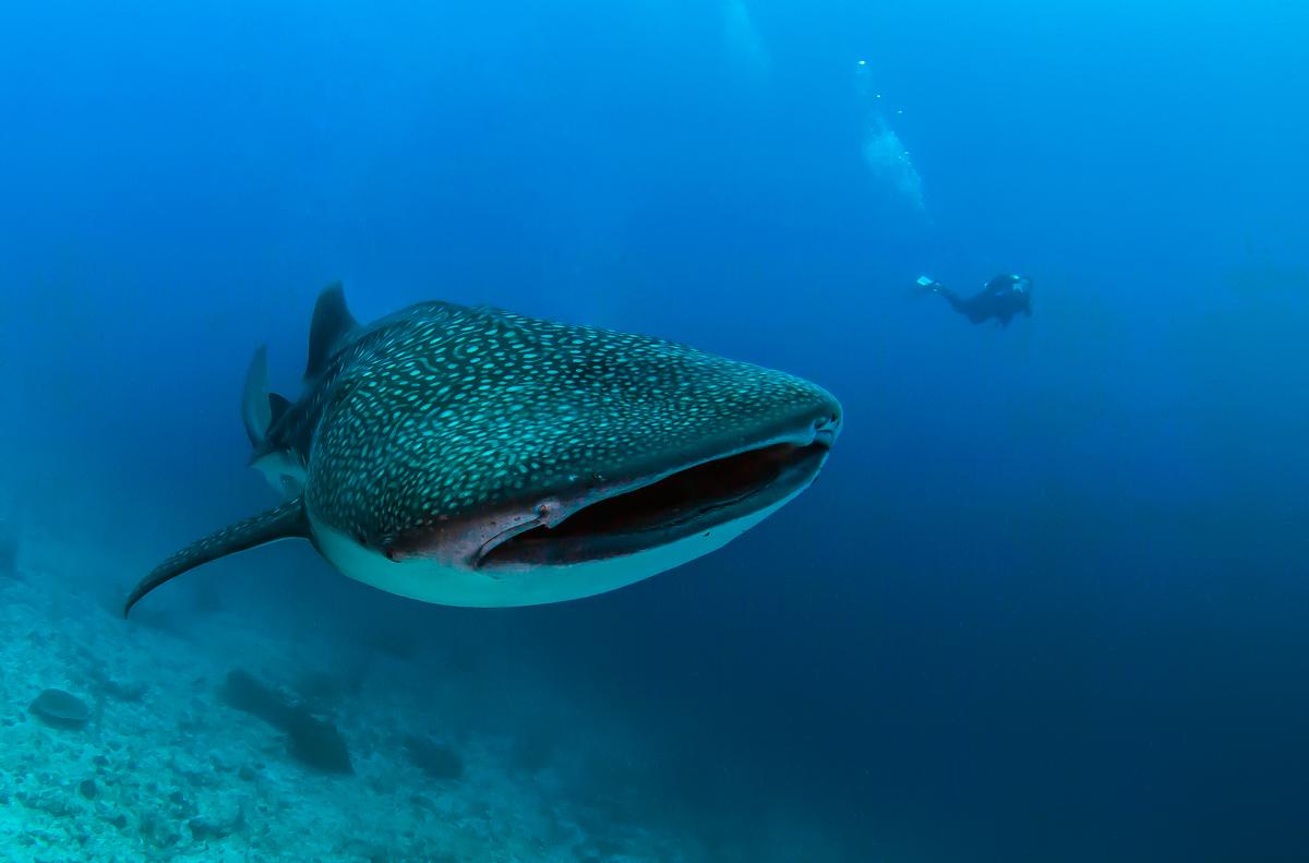 edwin van der sande - walvishaai malediven