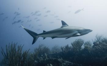 Duikvaker Thematafel: Haaienbescherming - wat kun jij doen?