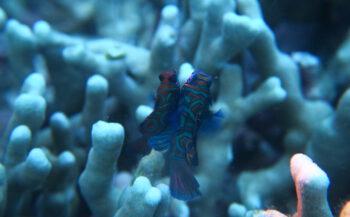 Jans van Wieren - Parende mandarijnvisjes