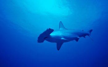 WNF wil haaienvisvergunning kopen