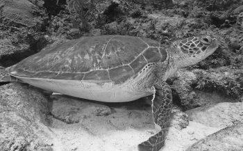 Nederlander opgepakt in Italië met ruim vijfduizend schildpadden in busje