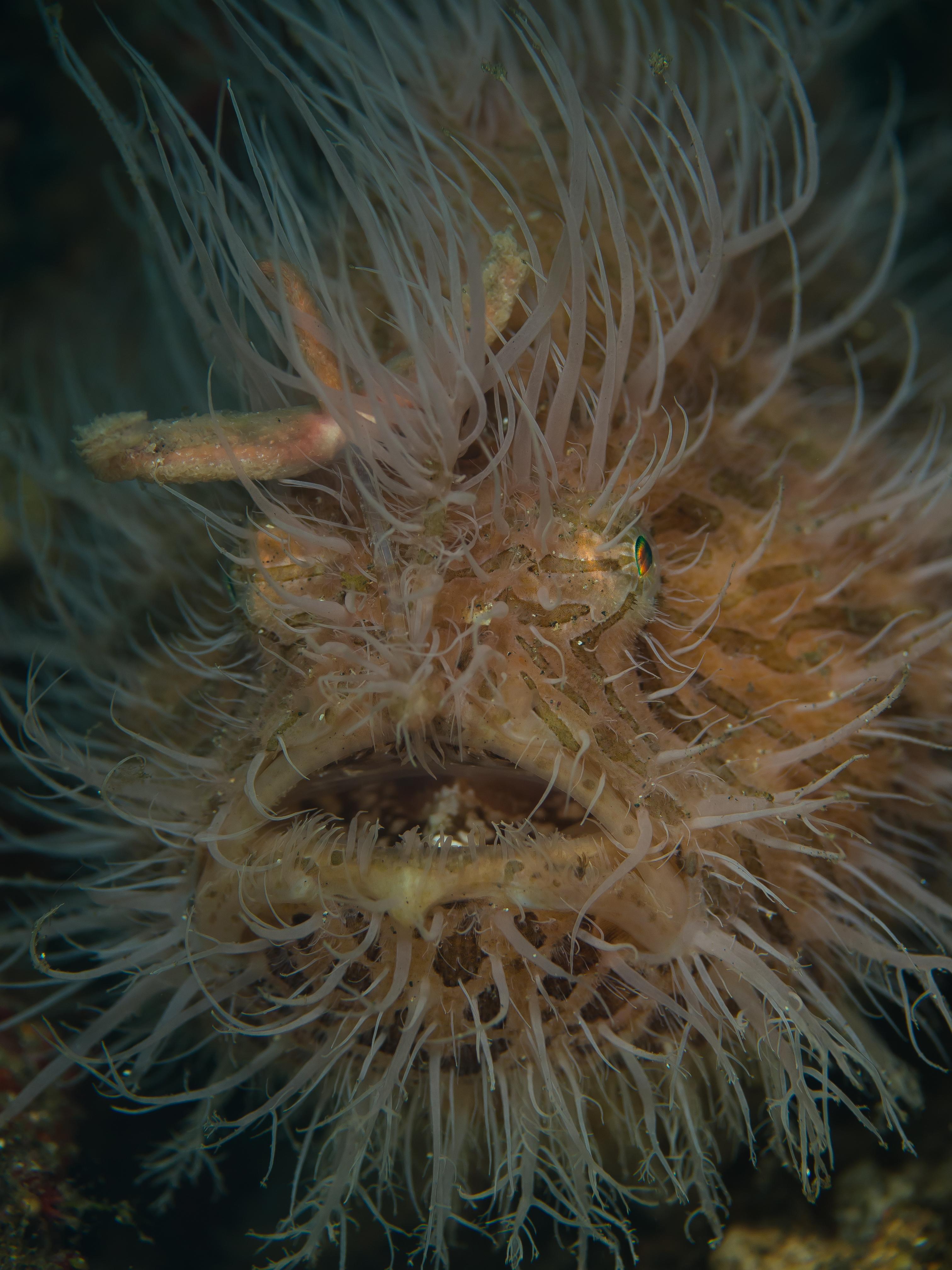 MiekeNoordanus_Hairy_frogfish-40257