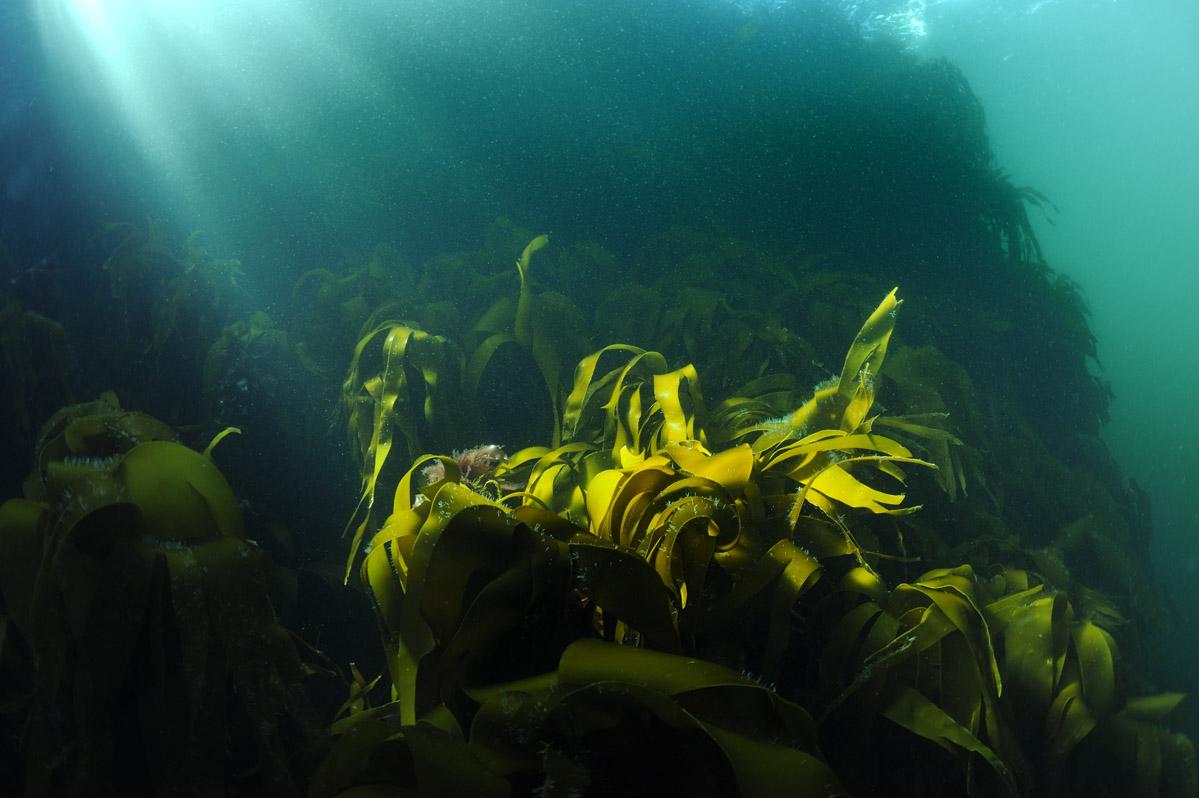 Kelp groeit allen op plaatsen waar het zonlicht goed kan doordringen; Kelp grows in all places where sunlight can penetrate .