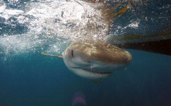 Unieke 'Shark Tagging'-expeditie op de Saba Bank