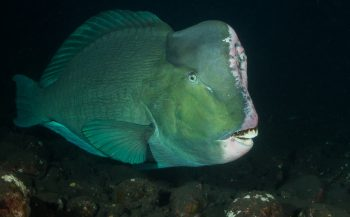 Mirjam van der Sanden - Vroege duik met Bultkoppagegaaivissen