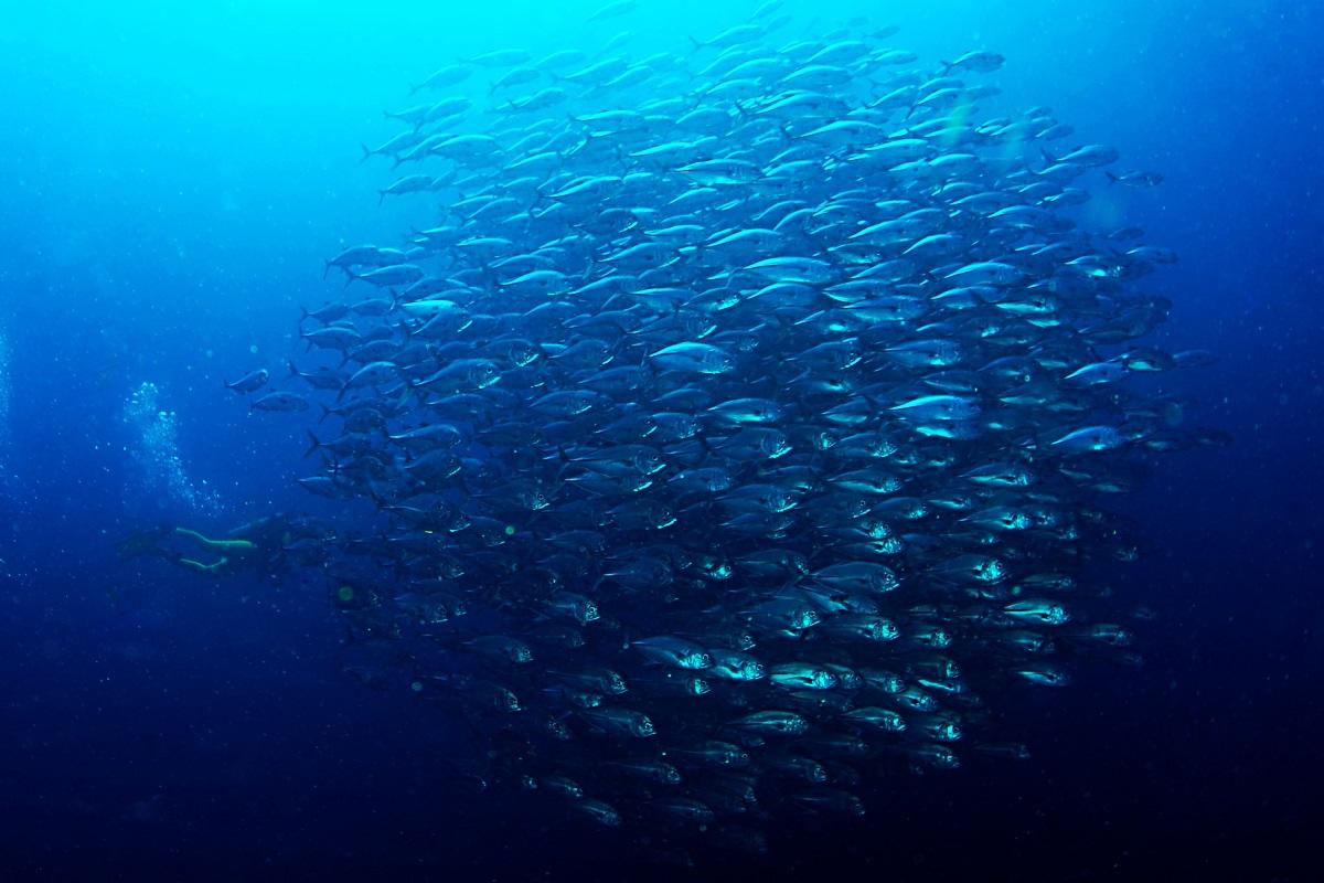 School vissen, Filipijnen