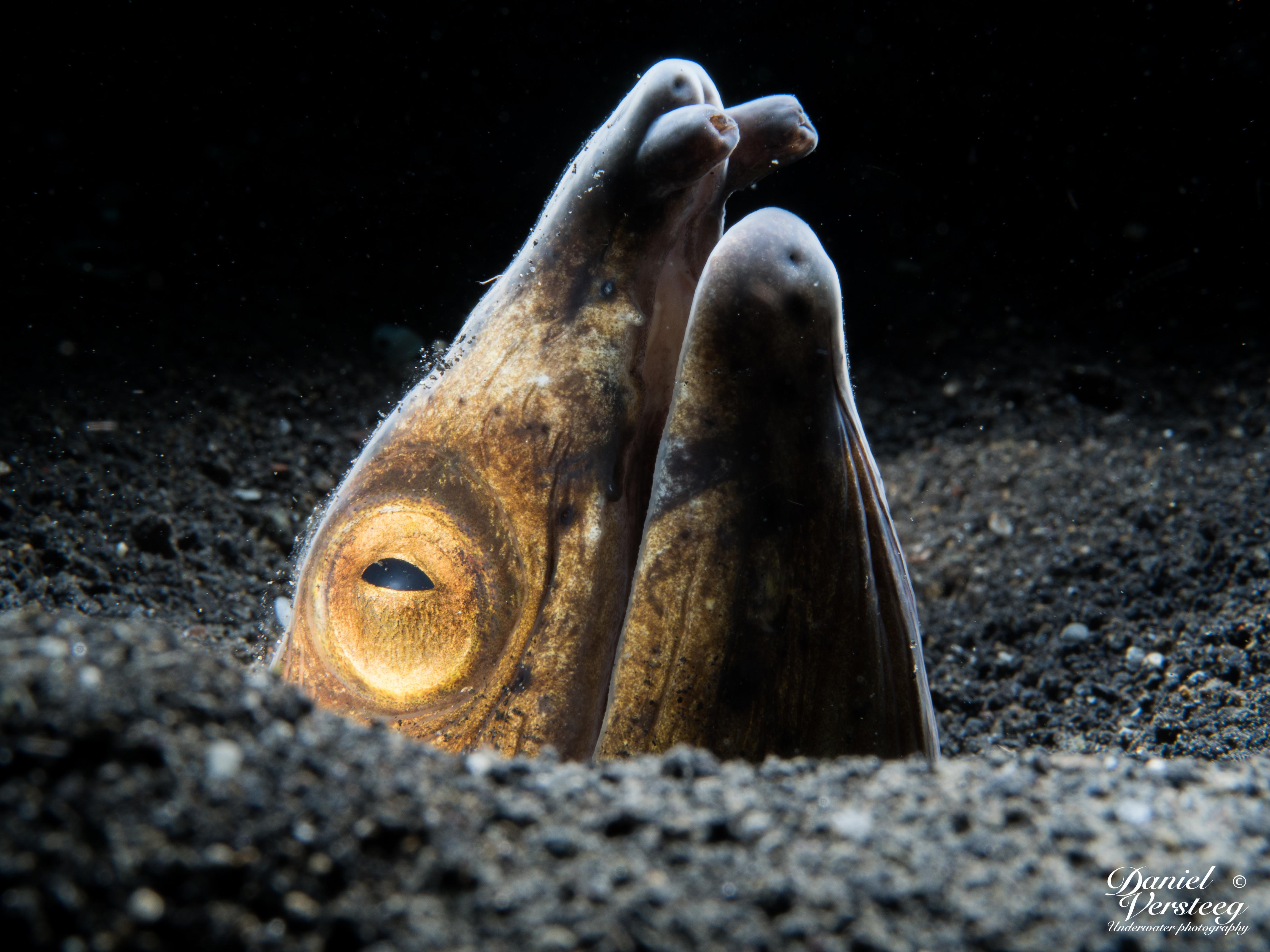 Daniel_Versteeg_foto-4-snake-eel-met-lsd-snoot-1