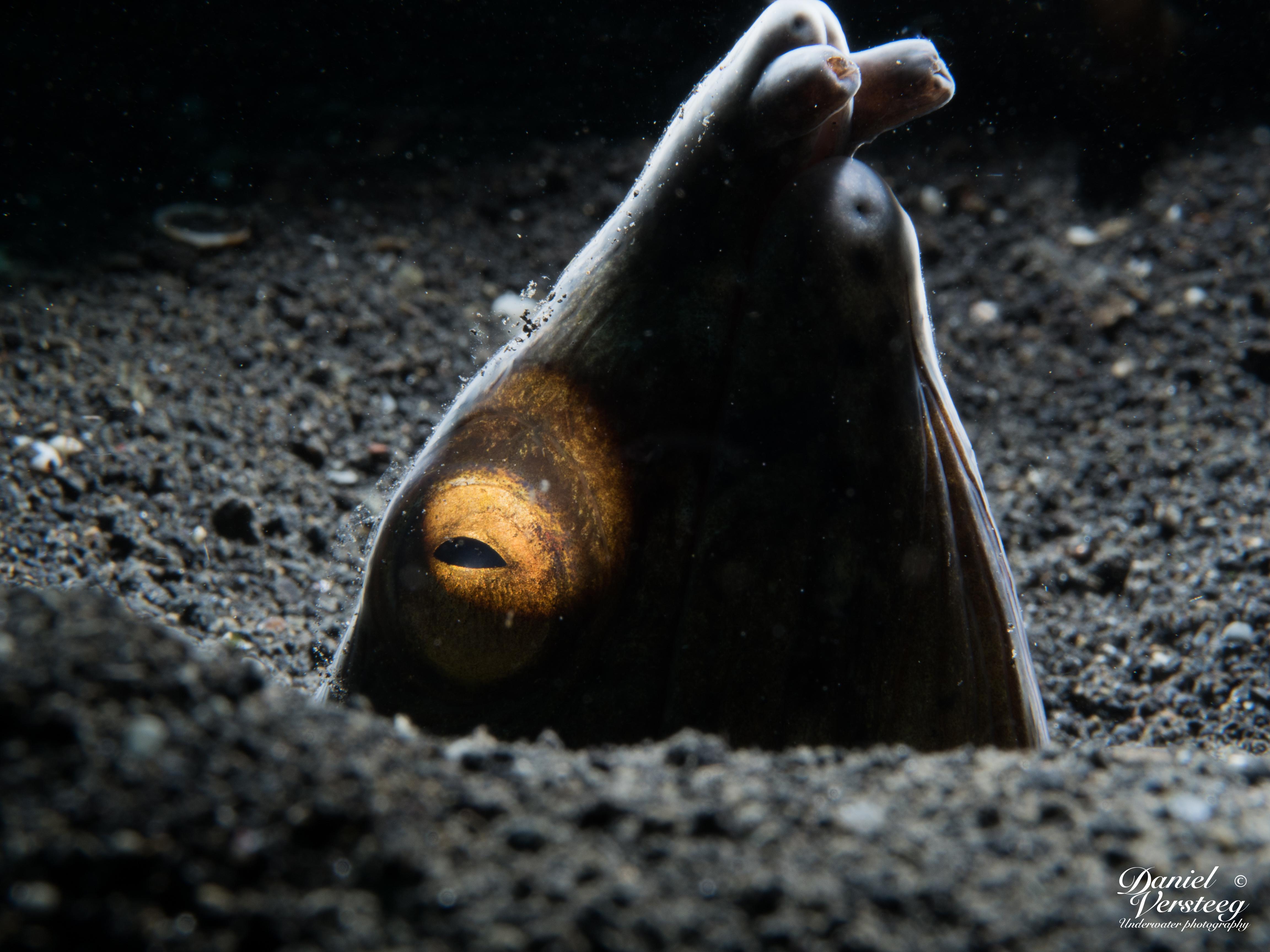 Daniel_Versteeg_foto-5-snake-eel-met-lsd-snoot-2