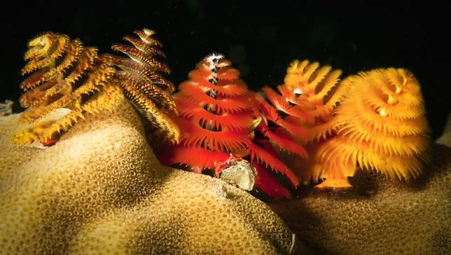 Kerstboomwormen