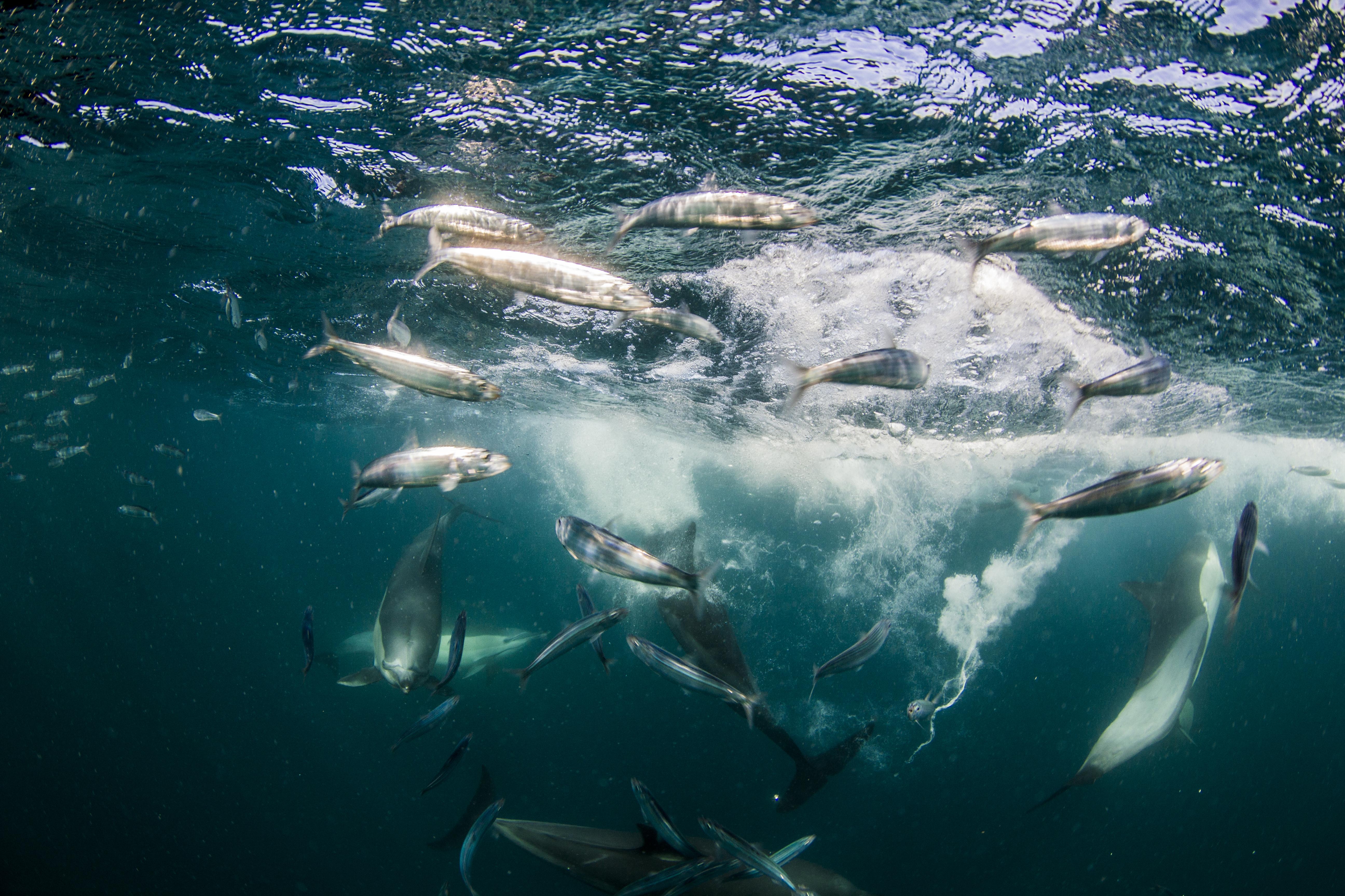 sardine-run-3