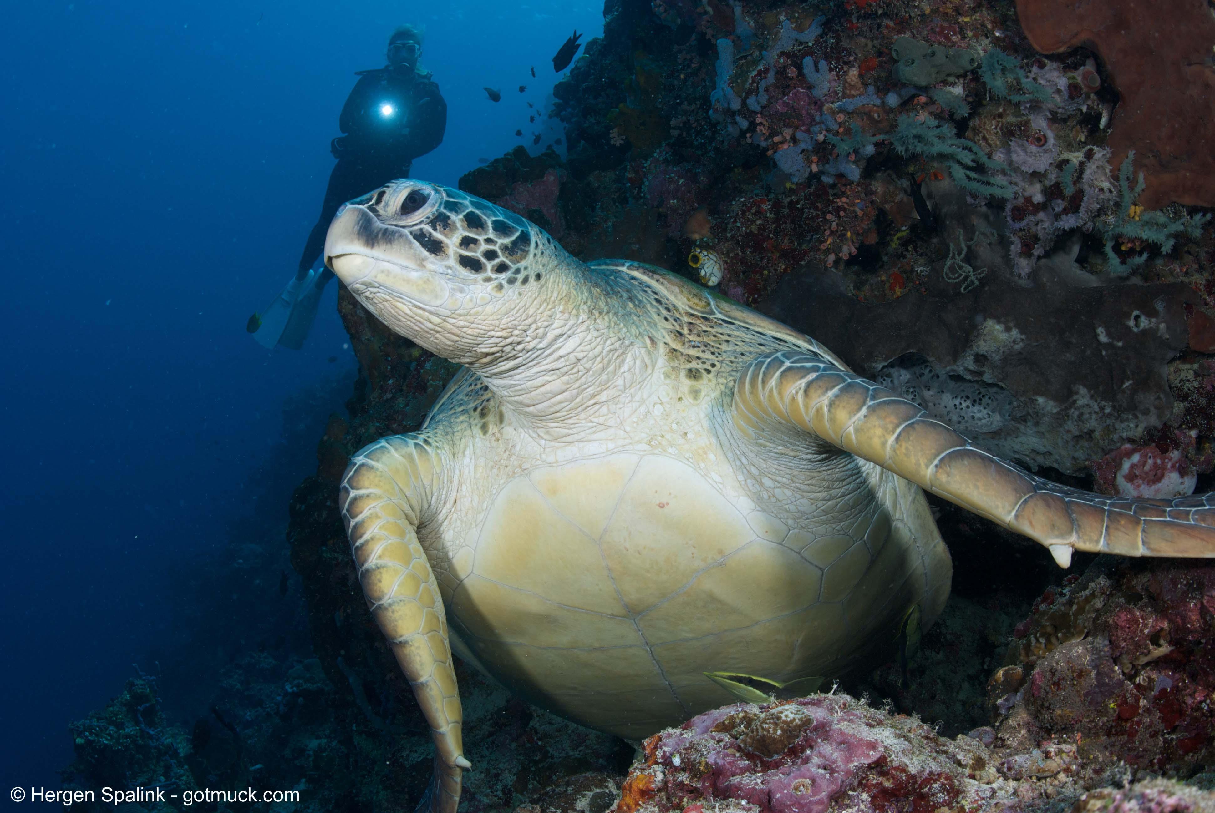 2. Groene zee schildpad in Bunaken Nationaal Park
