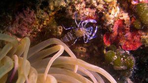 kroatie-anemone-shrimp_Schoonderwoerd