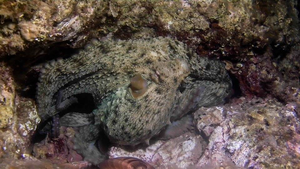 kroatie-octopus_Schoonderwoerd